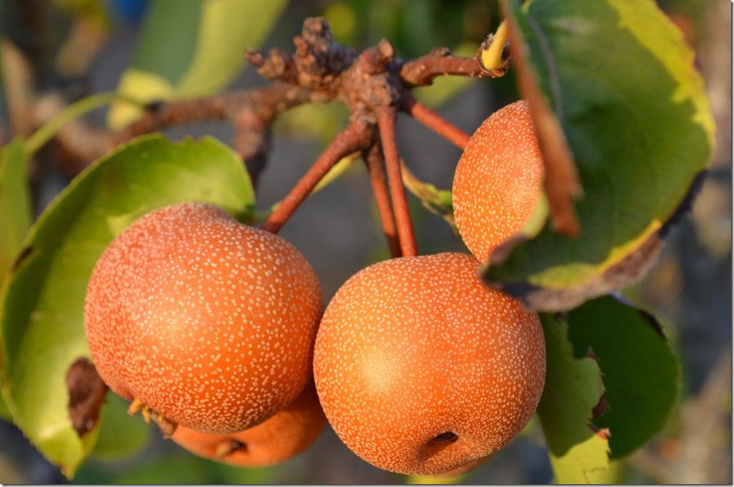 pears-2706253_1280